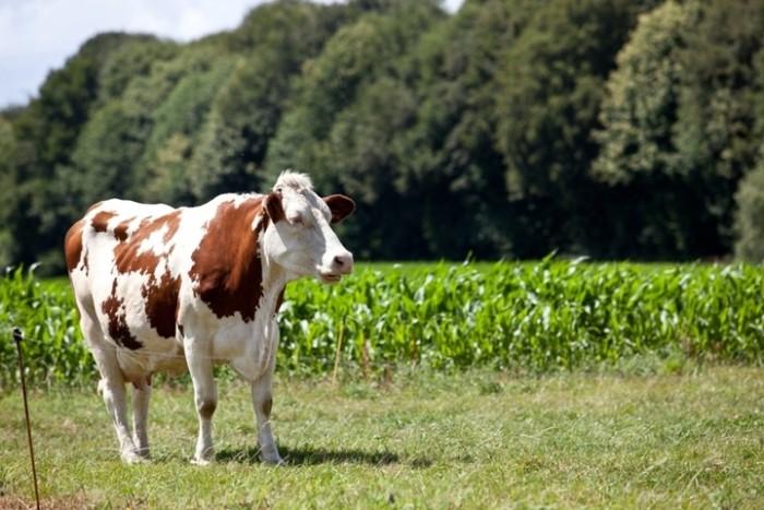 Мясная трава кормится в Италии. Зачем выбирать, где его найти